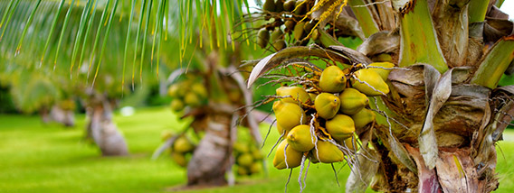 Become a Coconut Enthusiasts in the West Maui Mountains