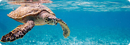 Florida Keys - Home of The Endangered Sea Turtle