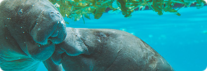 Explore the Everglades to Witness the Endangered Manatee